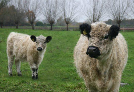 Koeien Johan en Caroline